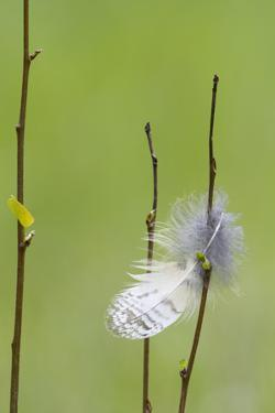 USA, Wyoming, Owl Feather Hanging from Aspen Shoot by Elizabeth Boehm