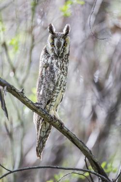 USA, Wyoming, Pinedale, A Male Long-eared Owl roosts in an aspen grove by Elizabeth Boehm