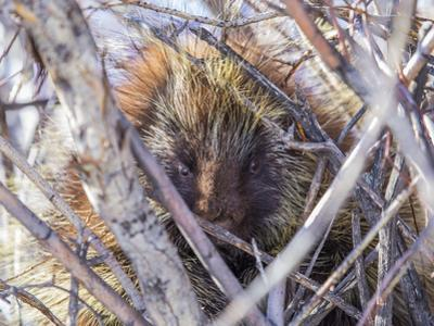 USA, Wyoming, porcupine sits in a willow tree in February. by Elizabeth Boehm