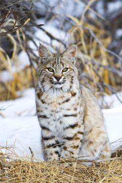 USA, Wyoming, Portrait of Bobcat Sitting by Elizabeth Boehm