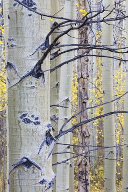 USA, Wyoming, Sublette County. Aspen trunks stand out against the yellow of autumn colors. by Elizabeth Boehm
