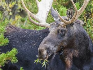 USA, Wyoming, Sublette County. Bull moose eats from a willow bush by Elizabeth Boehm
