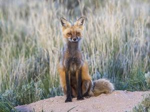 USA, Wyoming, Sublette County. Female red fox sitting at her den site. by Elizabeth Boehm