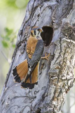 USA, Wyoming, Sublette County, Male American Kestrel at Nest Cavity by Elizabeth Boehm