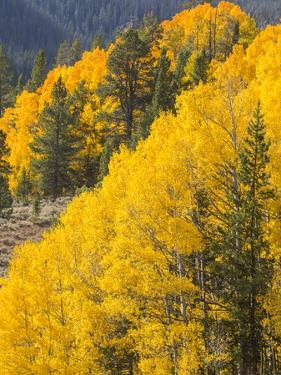 USA, Wyoming, Sublette County. Wyoming Range, colorful autumn aspens are layered with conifers by Elizabeth Boehm