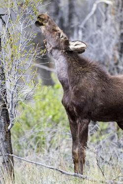 USA, Wyoming, Sublette County. Yearling moose calf reaches for leaves in springtime. by Elizabeth Boehm