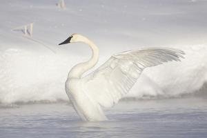 USA, Wyoming, Trumpeter Swan stretches wings on a cold winter morning by Elizabeth Boehm