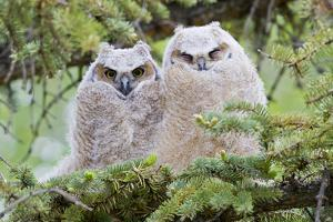 USA, Wyoming, two fledged Great Horned Owl chicks roosting in conifer by Elizabeth Boehm