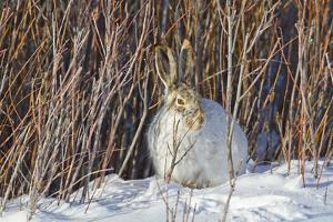 USA, Wyoming, White Tailed Jackrabbit Sitting on Snow in Willows by Elizabeth Boehm