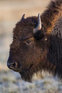 USA, Wyoming. Yellowstone National Park, bison cow at Fountain Flats in autumn by Elizabeth Boehm