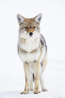 USA, Wyoming, Yellowstone National Park, Coyote in Snow by Elizabeth Boehm