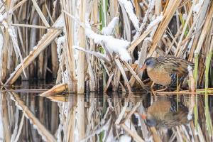Wyoming, a Virginia Rail Is Reflected in a Calm Morning Pond after a Spring Snowstorm by Elizabeth Boehm