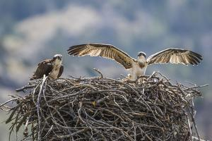 Wyoming, a Young Osprey Flaps it's Wings in Preparation for Fledging as Adult Looks On by Elizabeth Boehm