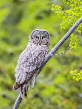 Wyoming, Grand Teton National Park, an Adult Great Gray Owl Roosts on a Branch by Elizabeth Boehm