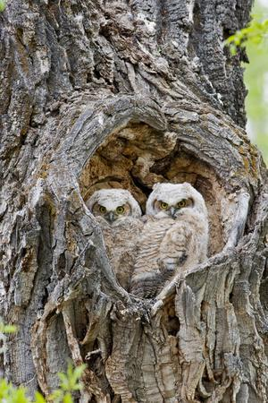 Wyoming, Grand Teton National Park, Great Horned Owlets in Nest Cavity