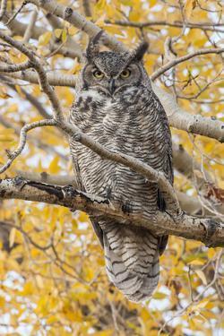 Wyoming, Great Horned Owl Roosting in Cottonwood by Elizabeth Boehm