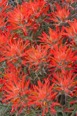 Wyoming, Lincoln County, Desert Paintbrush Close Up of Flowers by Elizabeth Boehm