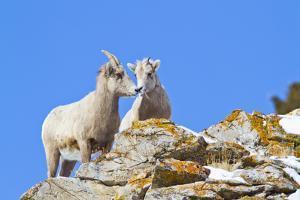 Wyoming, National Elk Refuge, Bighorn Sheep and Lamb Nuzzling by Elizabeth Boehm