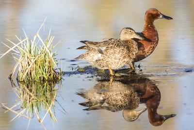 Wyoming, Sublette, Cinnamon Teal Pair Standing in Pond with Reflection