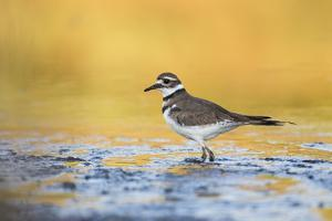 Wyoming, Sublette Co, Killdeer in Mudflat with Gold Reflected Water by Elizabeth Boehm