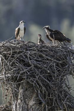 Wyoming, Sublette County, a Pair of Osprey with their Chick Stand on a Stick Nest by Elizabeth Boehm