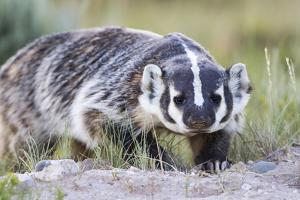 Wyoming, Sublette County. Badger walking in a grassland showing it's long claws by Elizabeth Boehm
