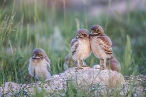 Wyoming, Sublette County, Burrowing Owl Chicks Stand at the Burrow Entrance and Lean on Each Other by Elizabeth Boehm