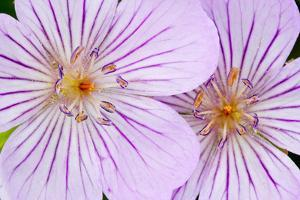 Wyoming, Sublette County, Close Up of Two Sticky Geranium Flowers by Elizabeth Boehm