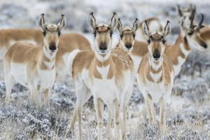 Wyoming, Sublette County. Curious group of pronghorn standing in sagebrush during the wintertime by Elizabeth Boehm