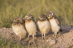 Wyoming, Sublette County. Four Burrowing Owl chicks stand at the edge of their burrow evening light by Elizabeth Boehm