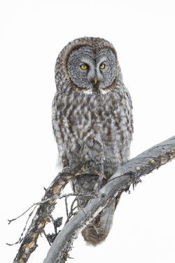Wyoming, Sublette County, Great Gray Owl Portrait by Elizabeth Boehm