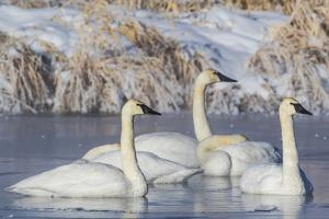 Wyoming, Sublette County. Group of five Trumpeter Swans sitting on a partially ice-covered pond by Elizabeth Boehm