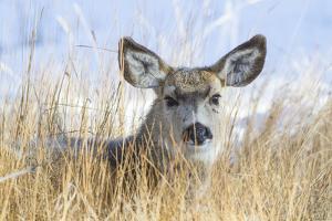 Wyoming, Sublette County, Mule Deer Doe Resting in Grasses by Elizabeth Boehm