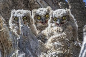 Wyoming, Sublette County. Pinedale, three Great Horned owl chicks look out from their nest by Elizabeth Boehm