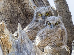 Wyoming, Sublette County. Two Great Horned Owl chicks sitting on the edge of a Cottonwood Tree snag by Elizabeth Boehm