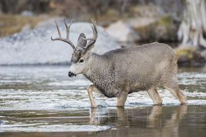 Wyoming, Sublette, Mule Deer Buck Crossing River During Fall Migration by Elizabeth Boehm
