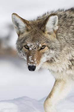 Wyoming, Yellowstone National Park, a coyote walking along the a snowy river during the wintertime. by Elizabeth Boehm
