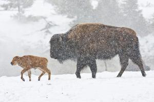 Wyoming, Yellowstone National Park, Bison and Newborn Calf Walking in Snowstorm by Elizabeth Boehm