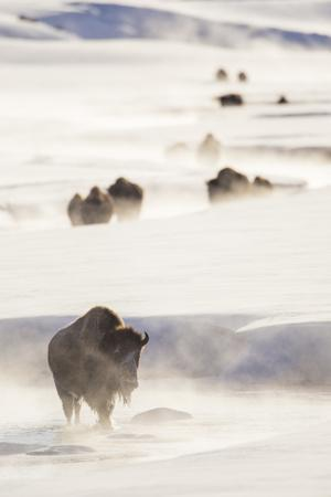 Wyoming, Yellowstone National Park, Bison Herd Walking Down Alum Creek