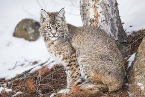 Wyoming, Yellowstone National Park, Bobcat Sitting under Tree by Elizabeth Boehm