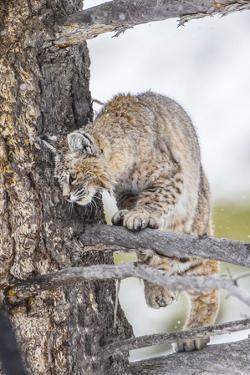 Wyoming, Yellowstone National Park, Bobcat Watching as a Coyote Eats Stolen Duck by Elizabeth Boehm