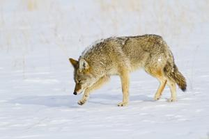 Wyoming, Yellowstone National Park, Coyote Hunting on Snowpack by Elizabeth Boehm