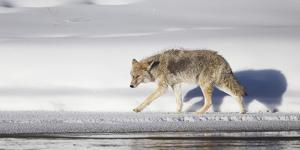 Wyoming, Yellowstone National Park, Coyote Walking Along Madison River by Elizabeth Boehm