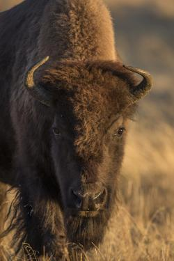 Wyoming. Yellowstone NP, cow bison poses for a in the autumn grasses along the Firehole River. by Elizabeth Boehm