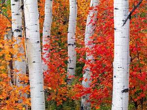 Aspens and Maples by Elizabeth Carmel