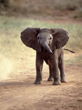 African Elephant Baby (Loxodonta Africana) by Elizabeth DeLaney