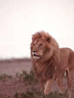 Lion, Masai Mara Game Resv, Kenya, Africa by Elizabeth DeLaney