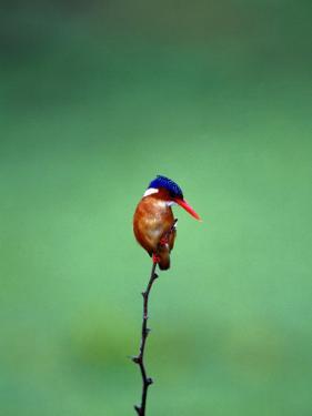 Malachite Kingfisher, Alcedo Cristata Galerita by Elizabeth DeLaney
