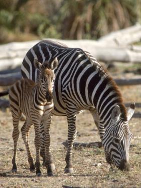 Zebra and Foal, Serengeti National Park, Tanzania by Elizabeth DeLaney