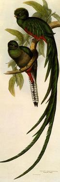 Resplendent Quetzals, Pharomachrus Mocino by Elizabeth Gould